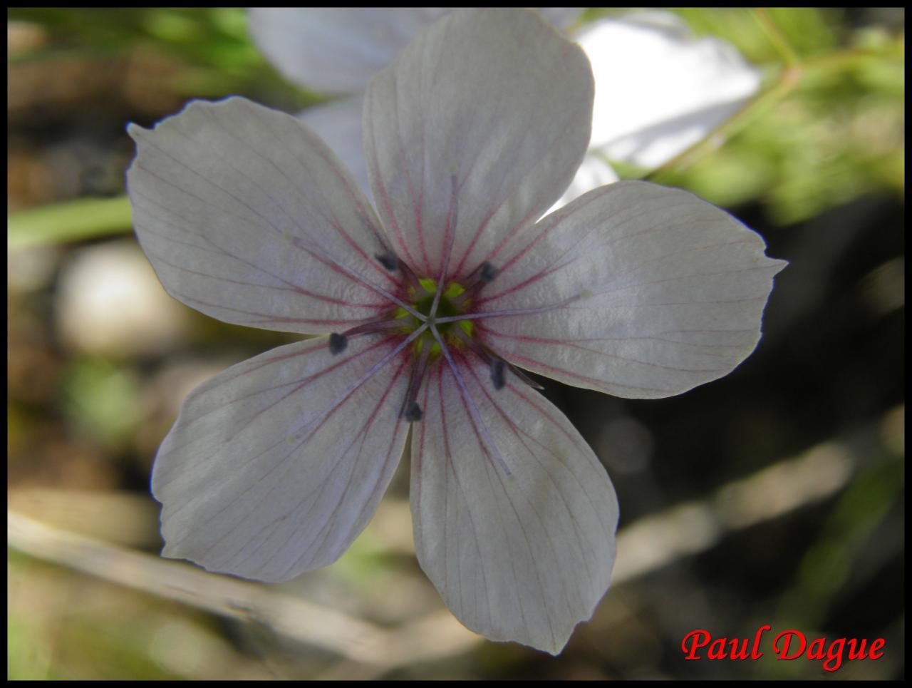 lin à feuilles menues-linum tenuifolium-linacée