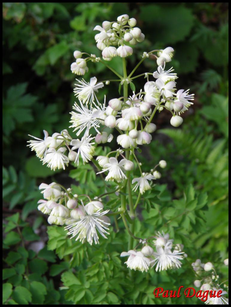 pigamon à feuilles d'ancolie-thalicrum aquilegiifolium-ranunculacée