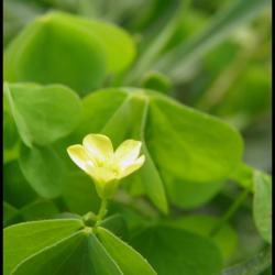 oxalis corniculé-oxalis corniculata-oxalidacée