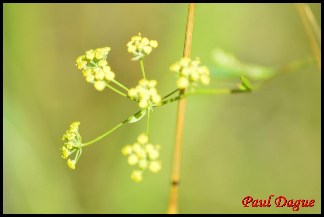 buplèvre en faux-bupleurum falcatum-apiacée