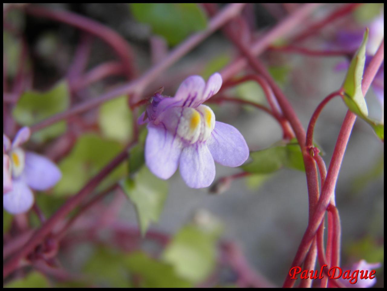 cymbalaire-cymbalaria muralis-scrophulariacée