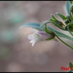 petite linaire-chaenorrhinum minus-scrophulariacée