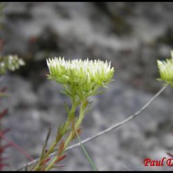 orpin des rocher-sedum rupestre -crassulacée