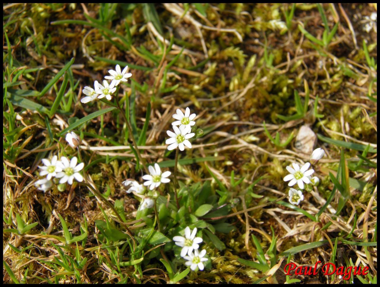 drave du printemps- erophila verna-brassicacée