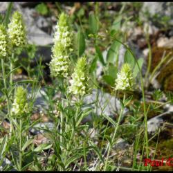 crapaudine à feuilles d'hysope-sideritis hyssopifolia-lamiacée