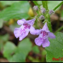 lierre terrestre-glechoma hederacea-lamiacée