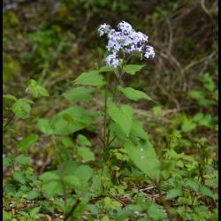 lunaire vivace-lunaria rediviva-brassicacée