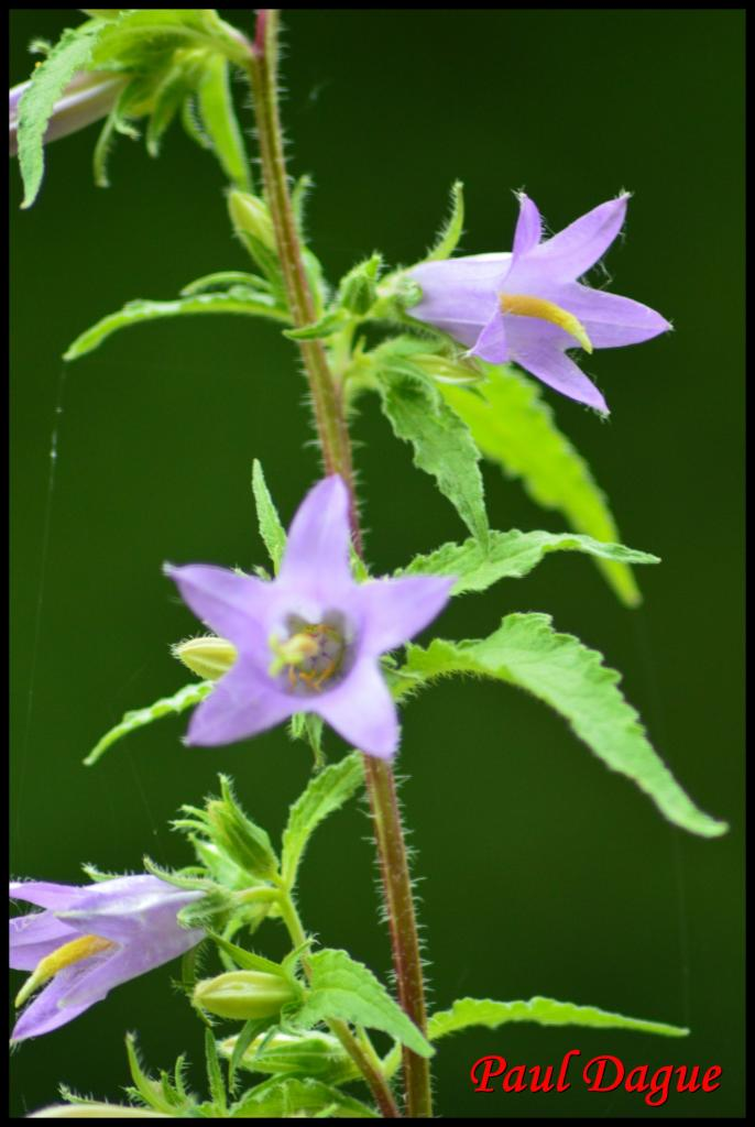 campanule fausse raiponce- campanula rapunculoides -campanulacée