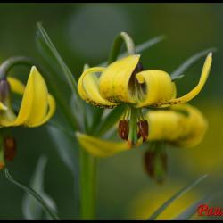 lis des pyrénées-lilium pyrenaîcum-liliacée