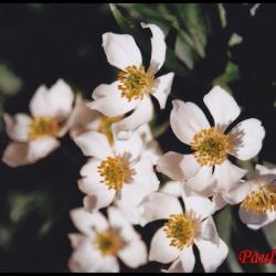 anémone à fleurs de narcisses-anemone narcissiflora-ranunculacée