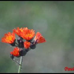 épervière orangée-hieracium aurantianum-astéracée (2)
