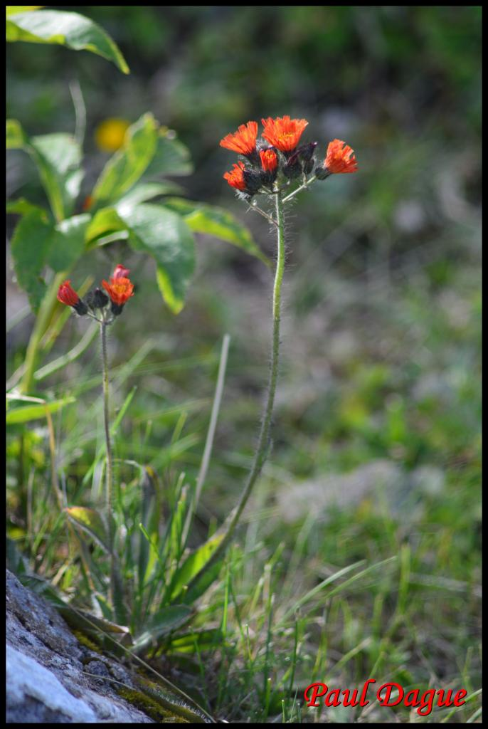 fleurs orange en capitule