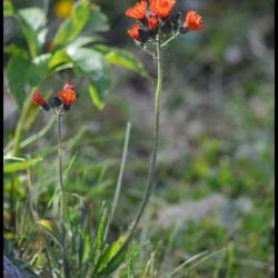 épervière orangée-hieracium aurantianum-astéracée