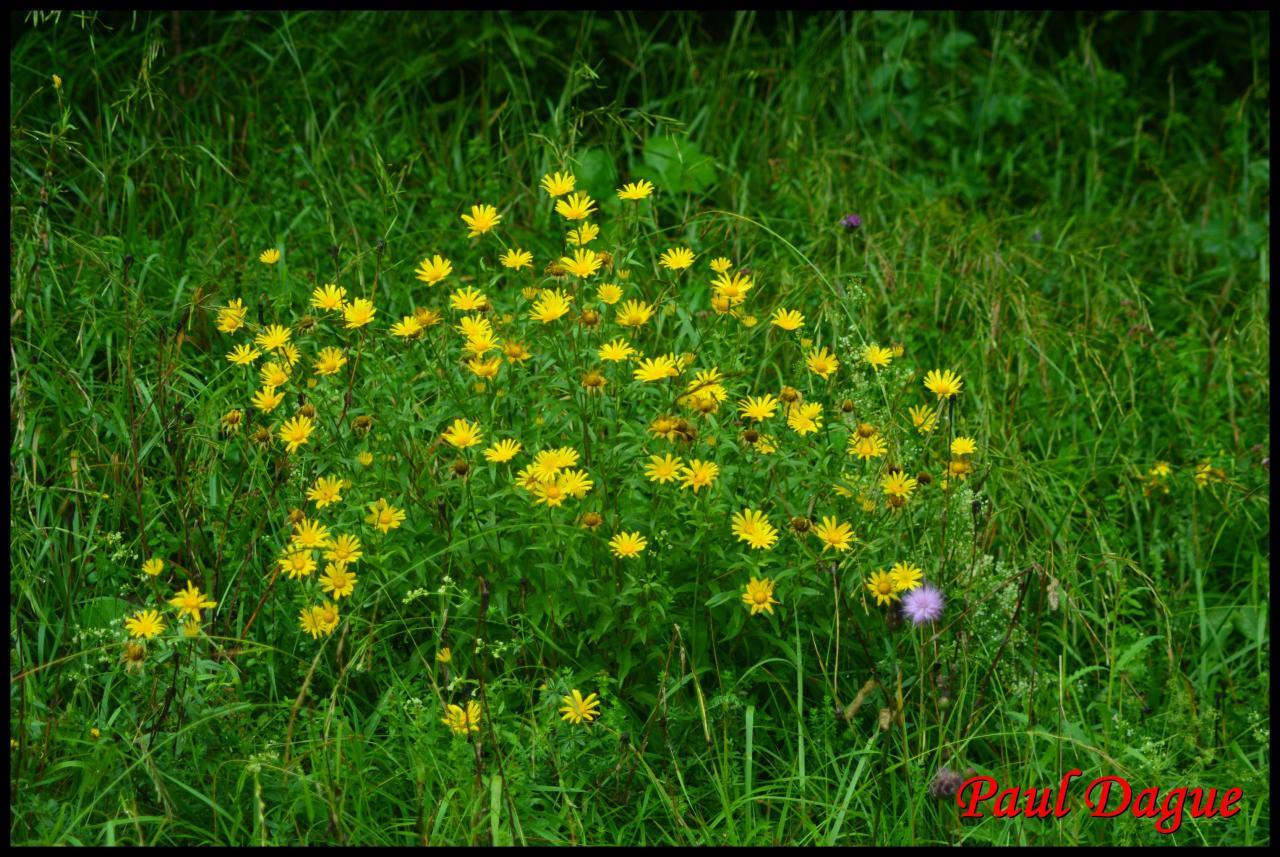 buphthalmum à feuilles de saule-buphthalmum salicifolium-astéracée