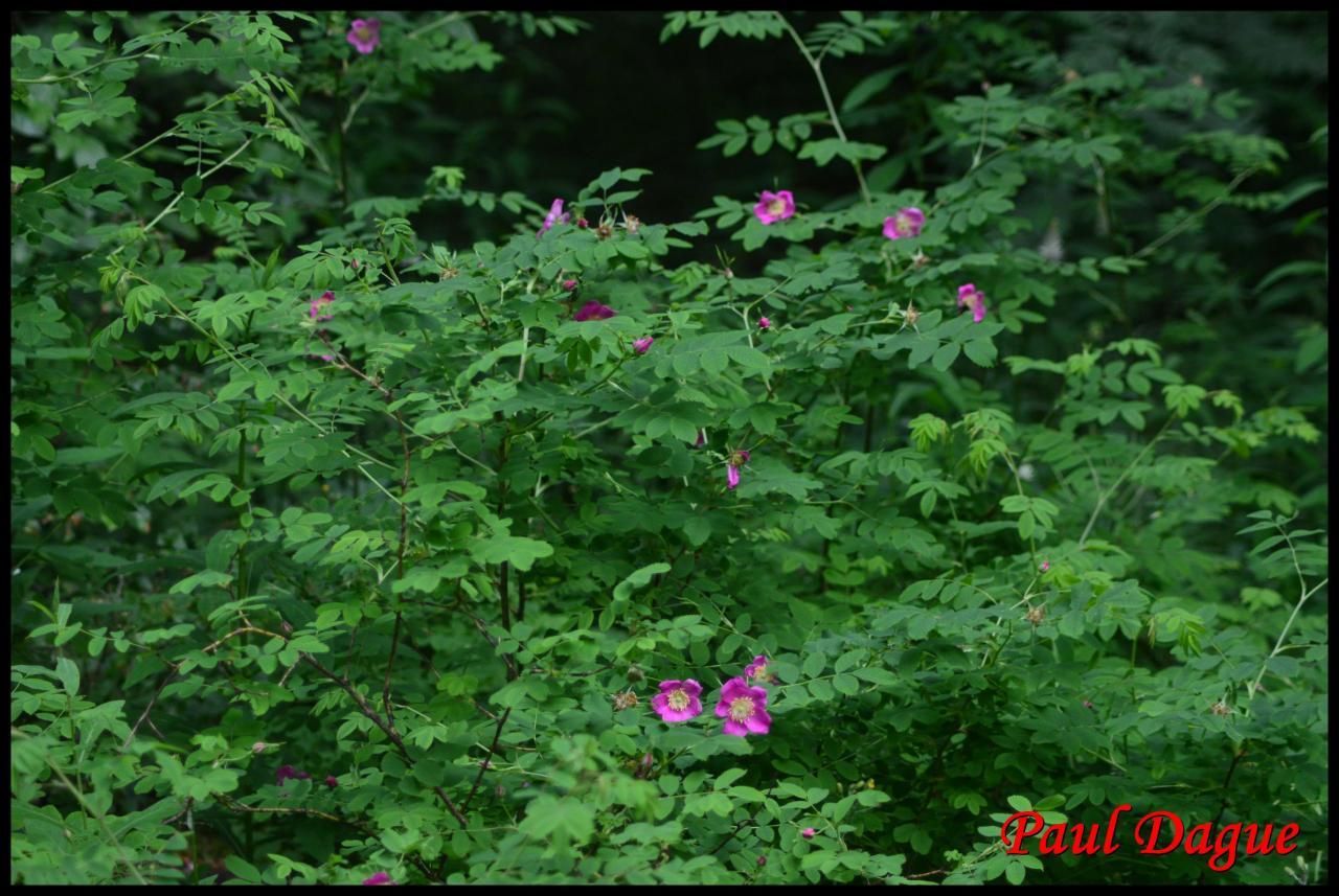 rosier des Alpes-rosa pendulina-rosacée