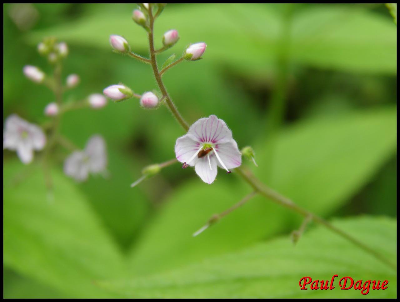 véronique à feuilles d'ortie-veronica urticifolia-scrophulariacée