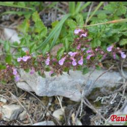 chênette-teucrium chamaedrys-lamiacée