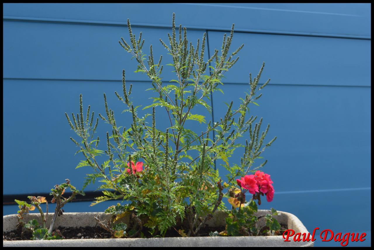 ambroisie à feuilles d'armoise-ambrosia artemisifolia-asteracée