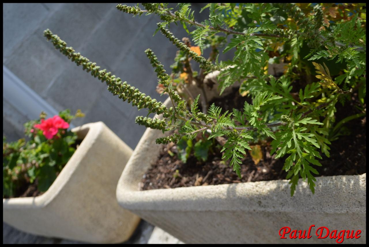 fleurs vertes en capitule