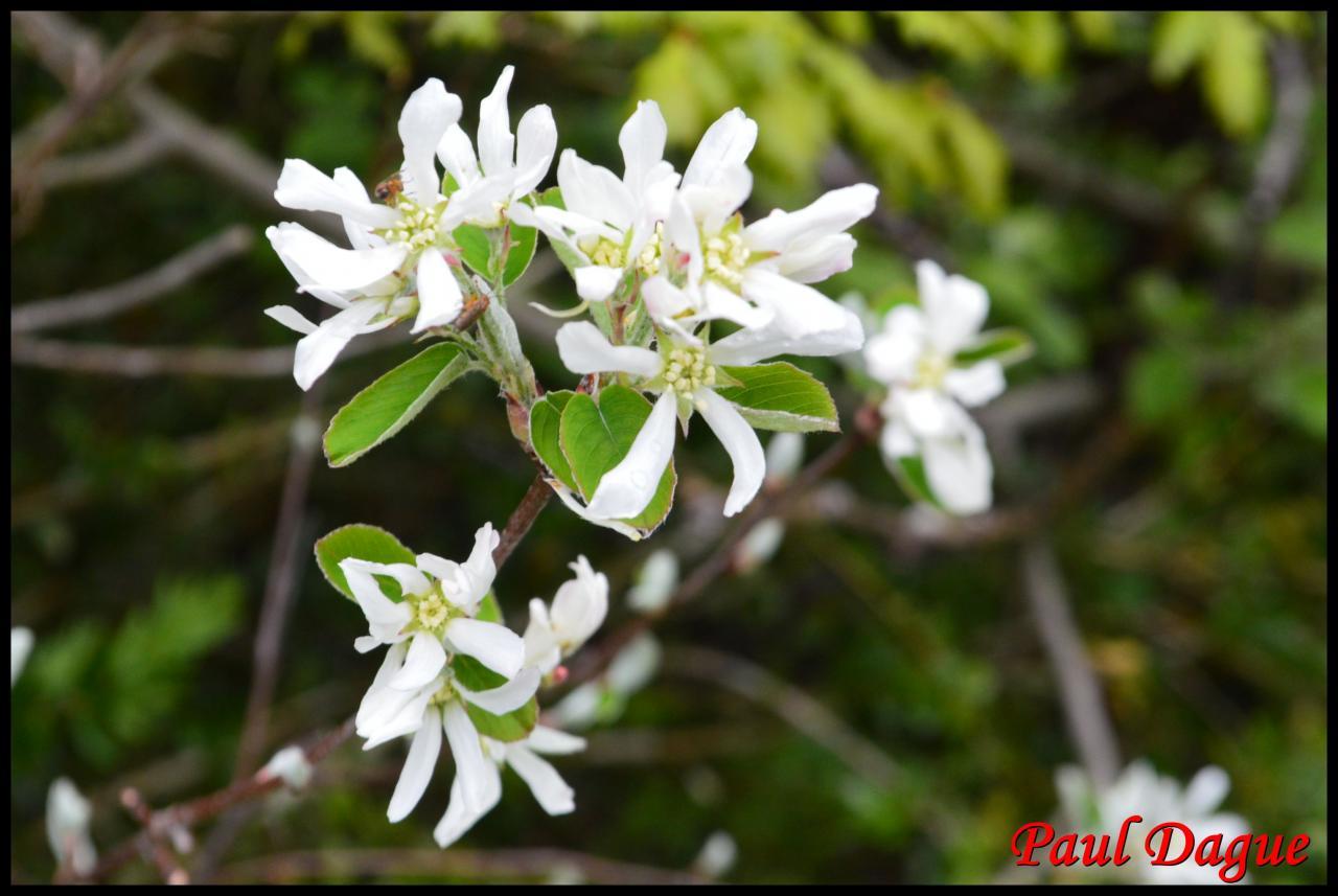 amélanchier à feuilles ovales-amélanchier ovalis-rosacée