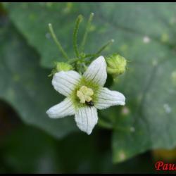 bryone dioïque-bryonia dioica-cucurbitacée