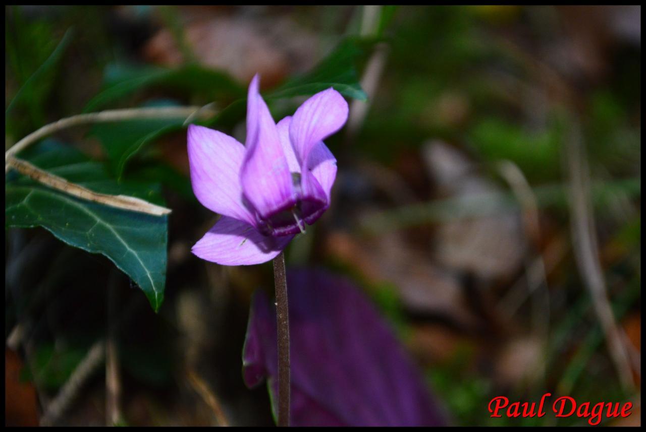 cyclamen pourpre-cyclamen purpurascens-primulacée