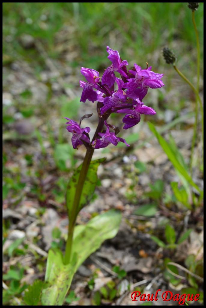 orchis de traunsteiner-dactylorhiza trausteineri-orchidacée