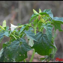 pomme èpineuse-datura stramonium-solanacée