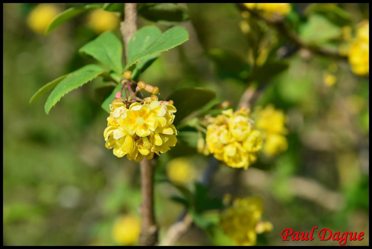 épine vinette-berberis vulgaris-berberidacée