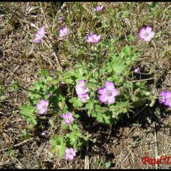 géranium à feuilles molles-geranium molle-geraniacée