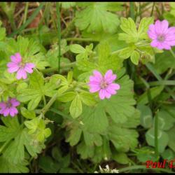 géranium à feuilles molles-geranium molle-geramiacée