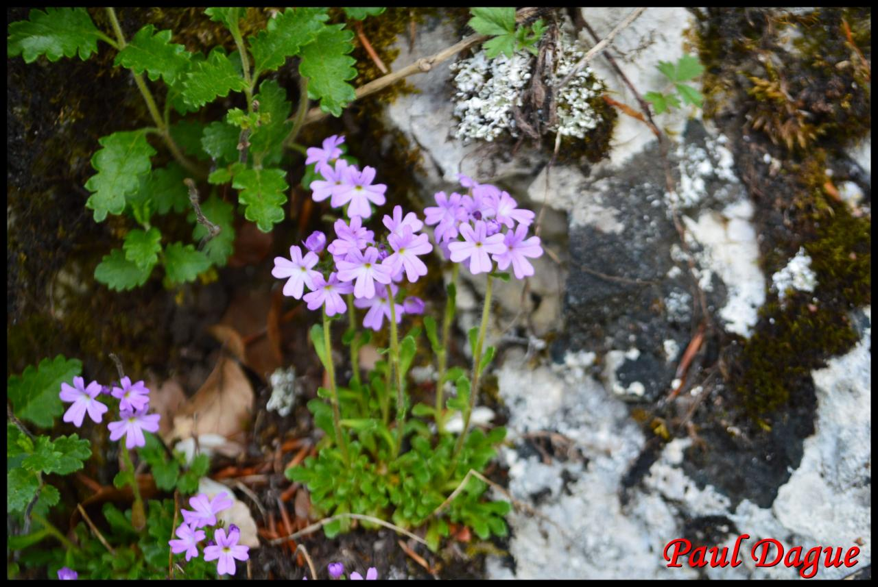 érine des Alpes-erinus alpinus-scrophulariacée
