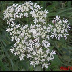 berce des prés-heracleum sphondylium-apiacée