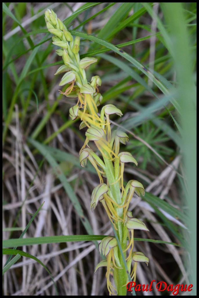 acéras homme pendu-orchis anthropophora-orchidacée
