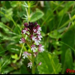 orchis brûlé-neotinea ustulata-orchidacée