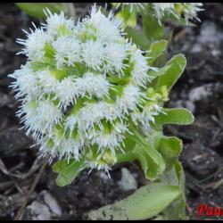 pétasite blanche-petasite albus-asteracée