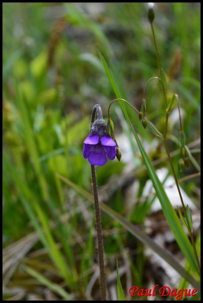 grassette commune-pinguicula vulgaris-lentibulariacée