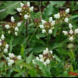 brunelle blanche-prunella laciniata-lamiacée