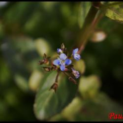 salade de chouette-veronica beccabunga-scrophulariaceae
