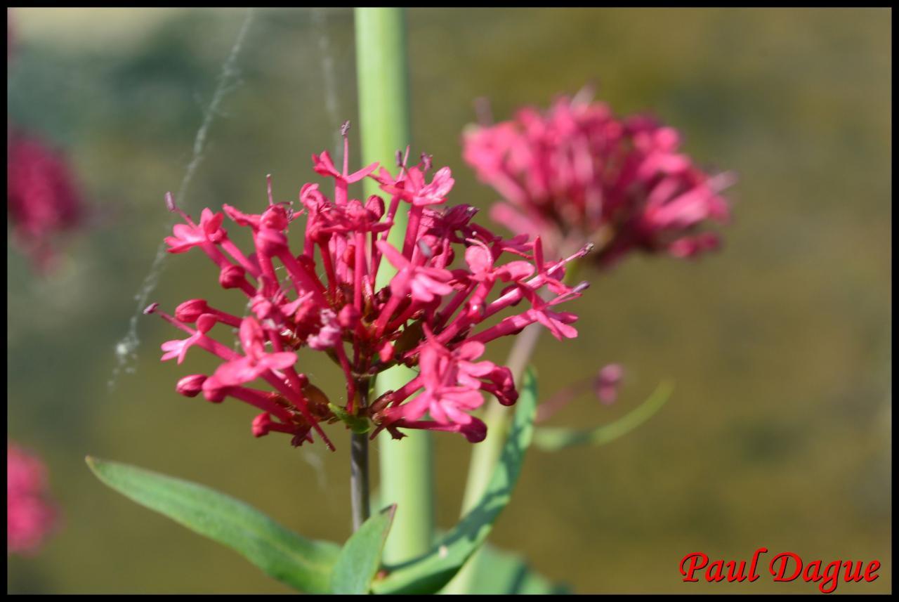 valériane rouge-centranthus ruber-valérianacée