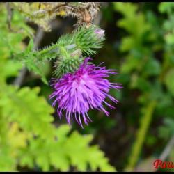 chardon crèpu-carduus crispus-astéracée