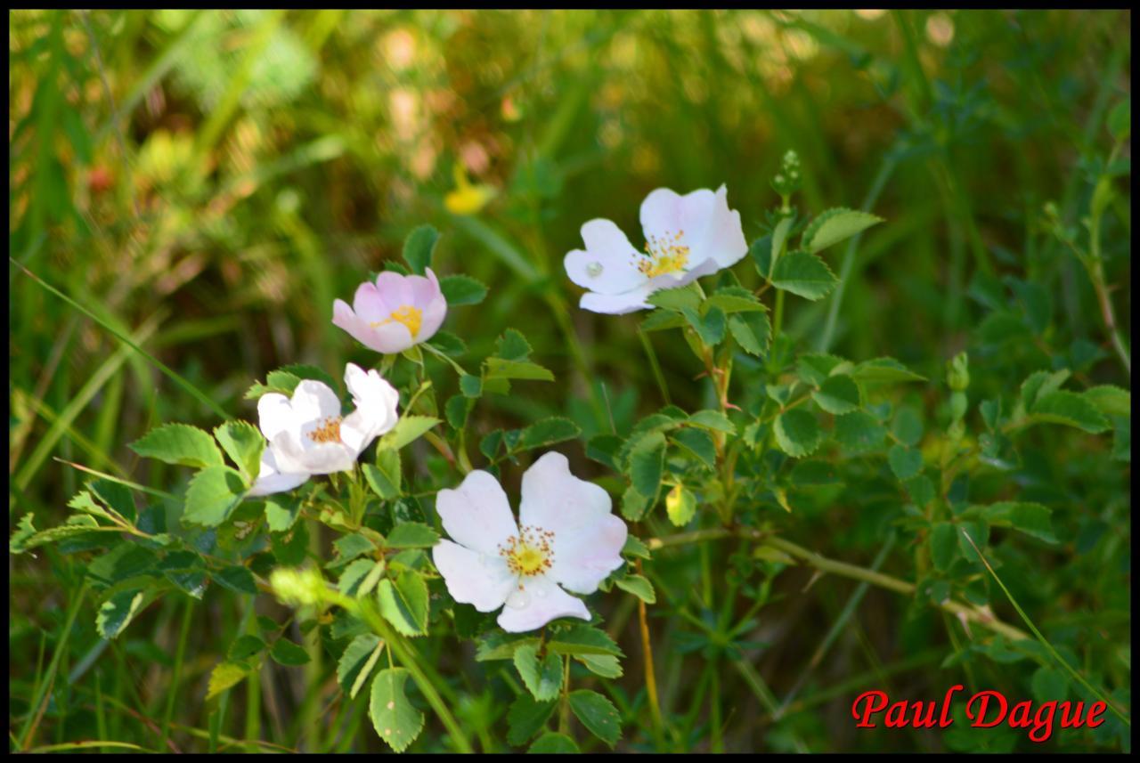 églantine.rosier des chiens-rosa canina-rosacée