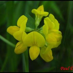 lotier corniculé-lotus corniculatus-fabacée