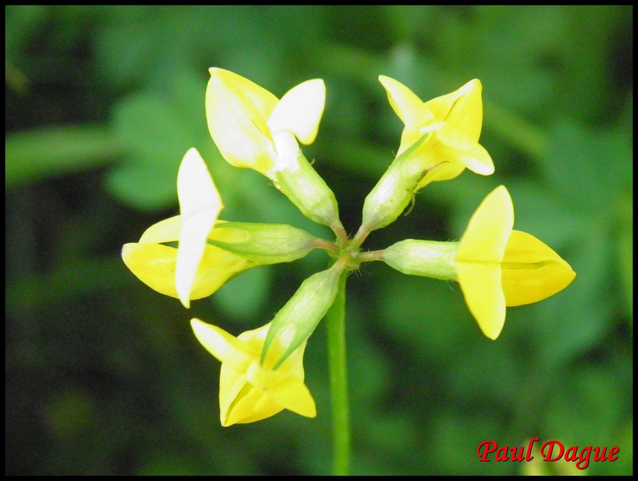 fleurs jaunes à symétrie bilatérale