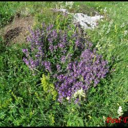 sariette des alpes-acinos alpinus-lamiacée