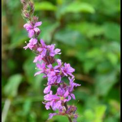 salicaire commune-lytrum salicaria-lythracée