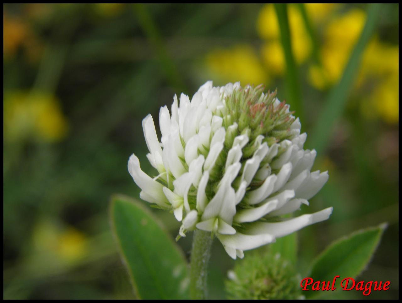 trèfle des montagnes-trifolium montanum-fabacée