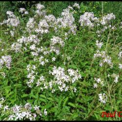 saponaire officinale-saponaria officinalis-caryophyllacée