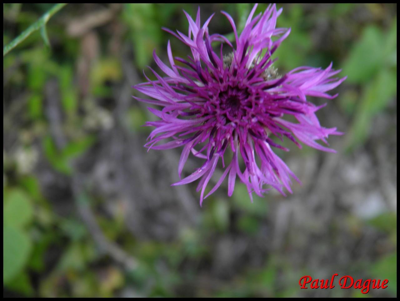 centaurée scabieuse-centaurea scabiosa-astéracée