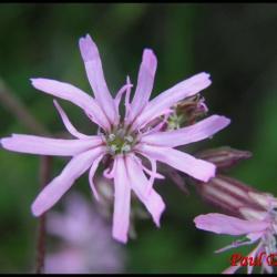 silène fleur de coucou-silene flos cuculi-caryophyllacée
